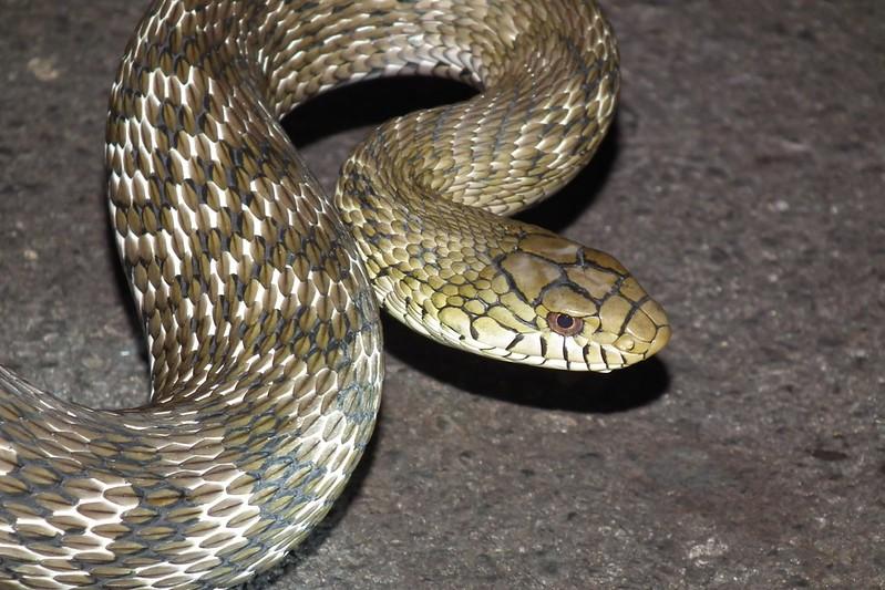王錦蛇(圖片攝影:林宥宇)