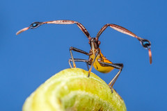 debatron500 posted a photo:	Fruit-spotting and Banana-spotting bugs are a serious pest for fruit growers in Australia. Oxley Creek, QLD.