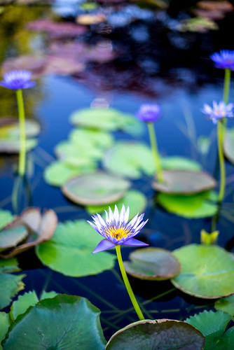 flowers blue plants white plant black flower color art nature water landscape photography 50mm photo nikon raw texas shadows waterlily unitedstates bokeh 14 colorphotography sanangelo waterlilypond nikond600