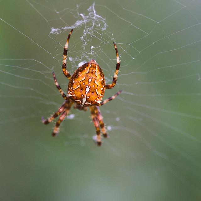 [183] Cross Spider