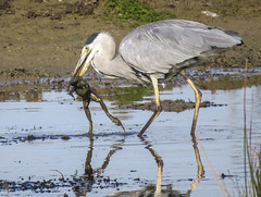 wetland, animal, fauna, little blue heron, reflection, heron, pelecaniformes, shorebird, beak, bird, wildlife,