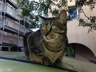 Figolu, le maître chat du quartier