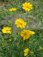 annual plant, flower, yellow, plant, herb, wildflower, flora, sulfur cosmos,
