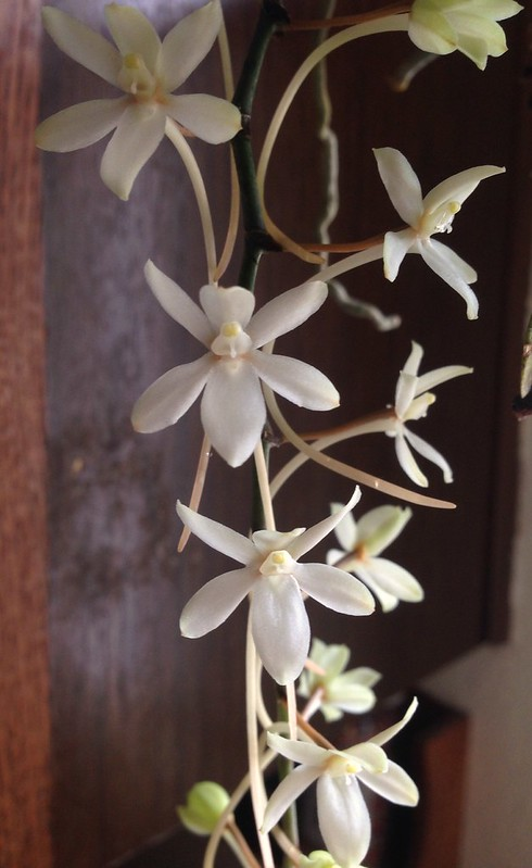 Aerangis mystacidii in bloom