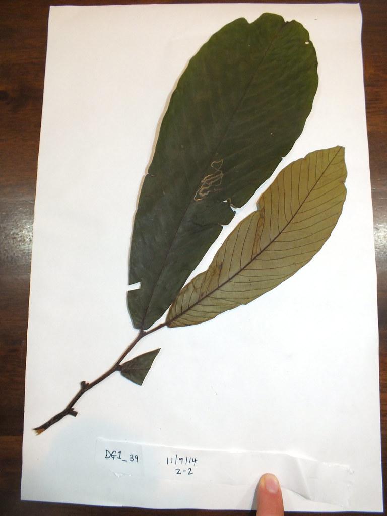 DG-01-039 (sheet 2 of 2) Annonaceae