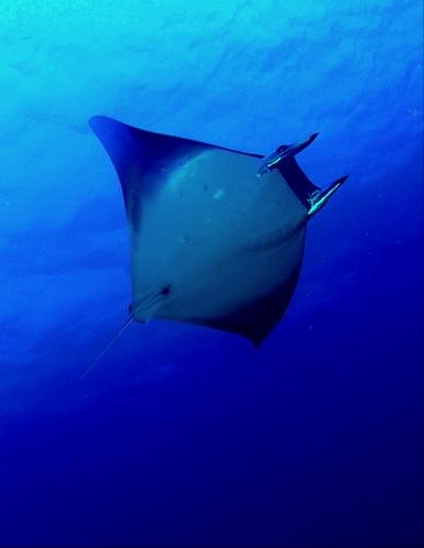 魔鬼魟,身長可到4公尺,下潛至2000公尺