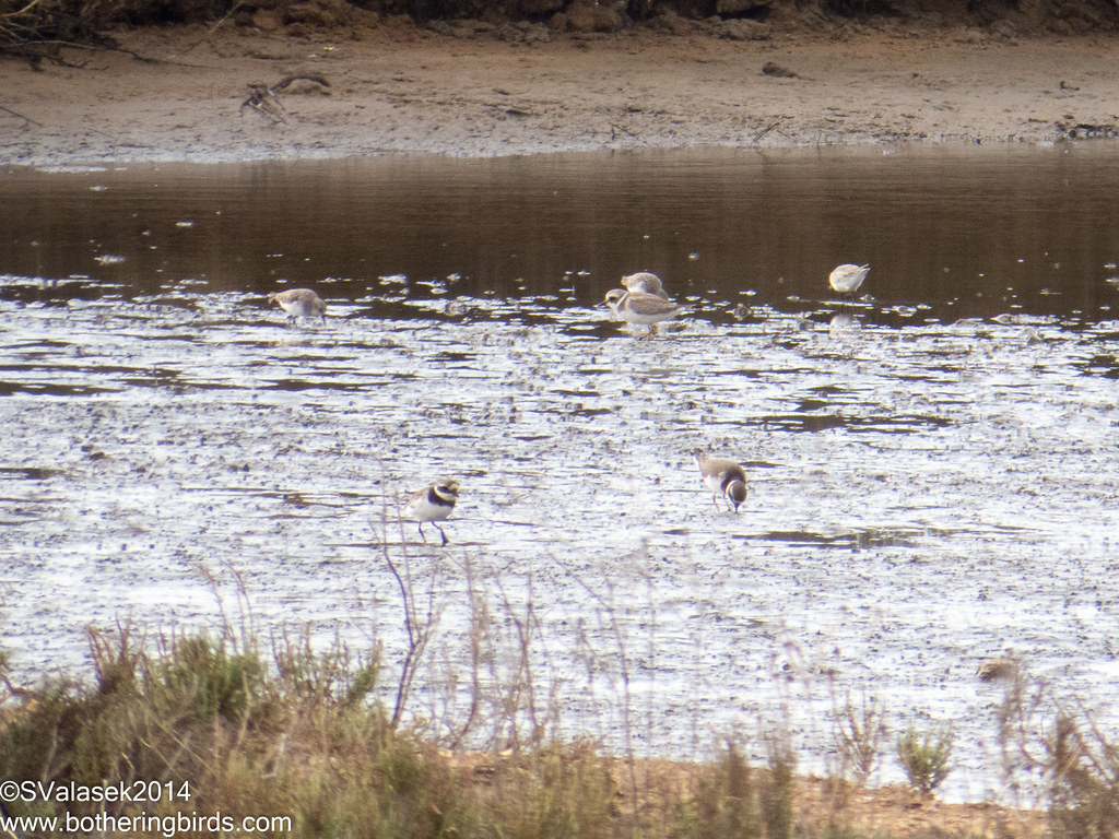 Kentish and Ringed Plovers