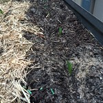 corn in Chez_stutters's Vegetable beds