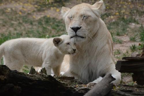 Transvaal-Löwin Nikita mit ihrem Nachwuchs  im Zoo de La Flèche