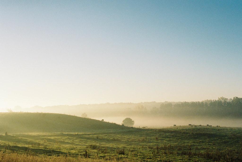 fog sunrise cows