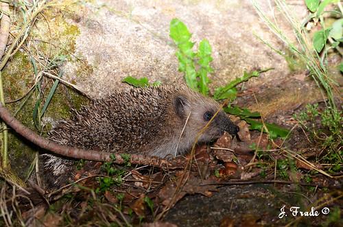 Ouriço-cacheiro (Erinaceus europaeus)