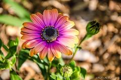 Osteospermum - African daisy