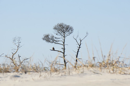 Bald Eagle, Assateague National Seashore