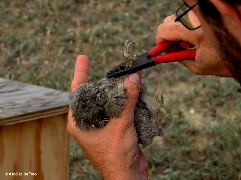 Bird banding - Eurasian Scops Owl
