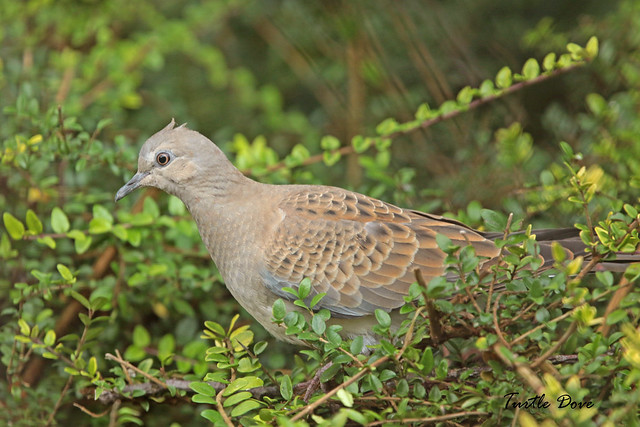 TURTLE DOVE juv. MINSTER, Canon EOS 7D MARK II, Canon EF 400mm f/4 DO IS