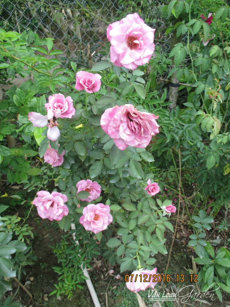 1 bụi hoa hồng tím ruốc Sa Đéc, ở vườn nhà. Khi trồng tốt, 1 cây hồng tím ruốc Sa Đéc có thể có trên 10 bông hoa