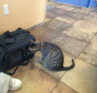 Vet's office cat says hello to my Lulu and Pacey
