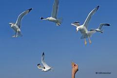 Macedonia tempting the seagulls Aegean sea Greece