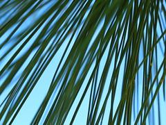 Carolina Blue Sky and Pine Needles!