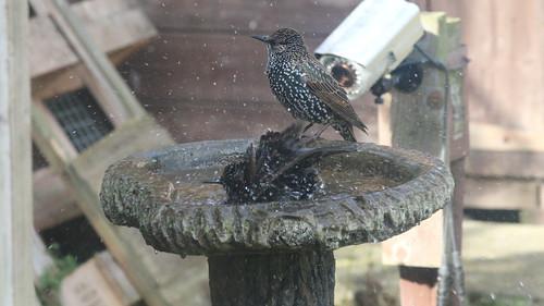 Starling IMG_1820