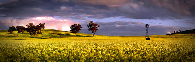 Andrew Fleming - Windmill in Canola (Explored)