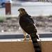 Small photo of Accipiter cooperii (Cooper Hawk)