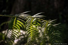 Fern at Melbourne Botanic Garden