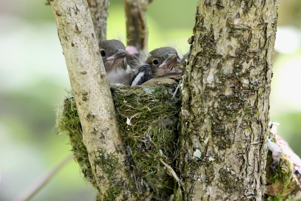 Baby Chaffinch in the Nest, Cym Porth, Brecon Beacons National Park, Powys, Wales