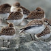 Semipalmated sandpipers - migration group by Natimages