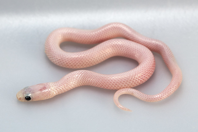 Quiz - Identify the Snake (Page 1) — Stories, Rumors, Accounts, and