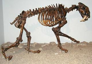 Smilodon fatalis (saber-toothed tiger) (Late Pleistocene; California, USA) 2