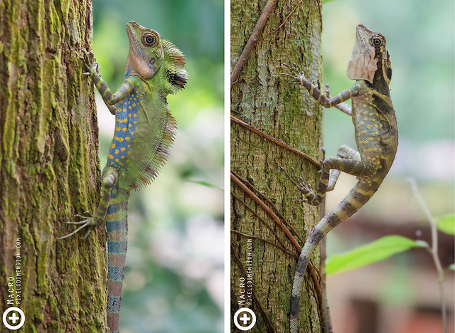 Great Angle Head Lizard- Gonocephalus grandis ♂♀