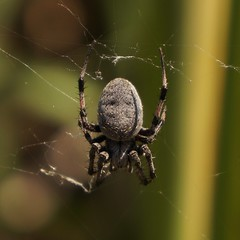 argiope(0.0), yellow garden spider(0.0), araneus(0.0), arthropod(1.0), animal(1.0), spider(1.0), nature(1.0), invertebrate(1.0), macro photography(1.0), european garden spider(1.0), fauna(1.0), close-up(1.0), orb weaver spider(1.0), spider web(1.0),