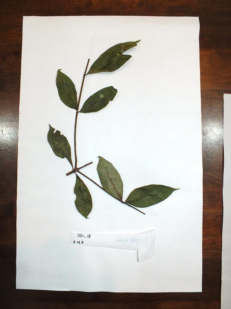 DG-01-018 (Sheet 2 of 2) Rubiaceae