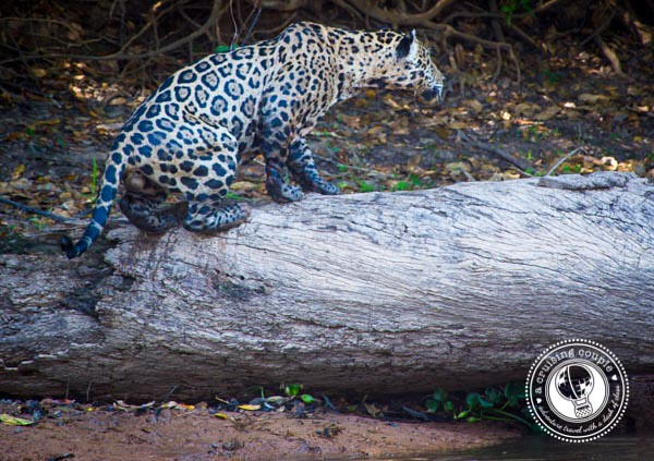 Pantanal Jaguar Sitting on a Tree