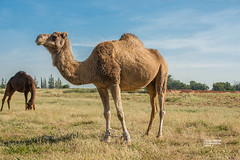 animal, prairie, mammal, fauna, natural environment, camel, arabian camel, pasture, grassland, safari, wildlife,