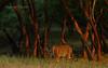 T19 cub in Ranthambhore