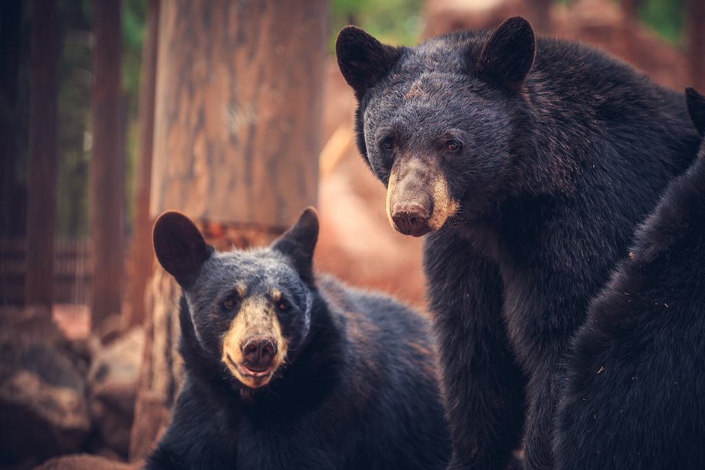A Bear Family