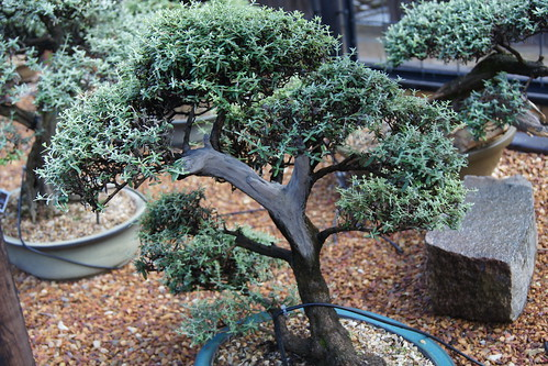 Buddleja saligna (False olive) bonsai