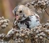 Harris's Sparrow Lurie Garden 10-20-14-3358