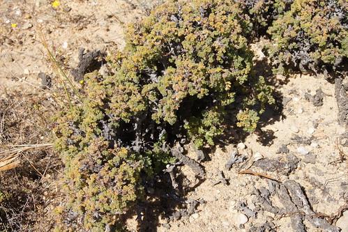 P. alternans в долине на горе