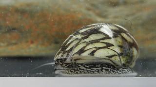 Theodoxus fluviatilis 07