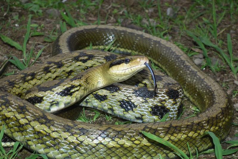 台灣黑眉錦蛇(圖片攝影:林宥宇)