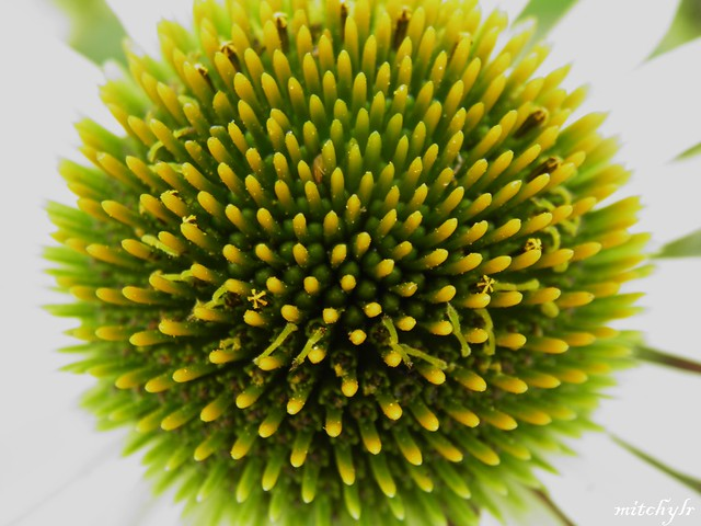 Echinacea Heart (Yellow)