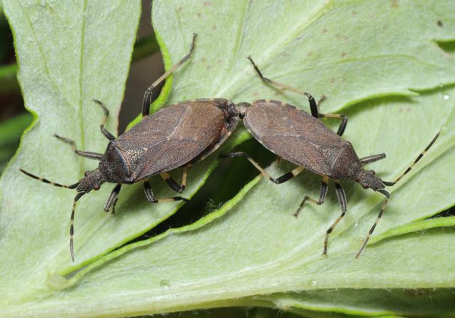 Dicranocephalus medius