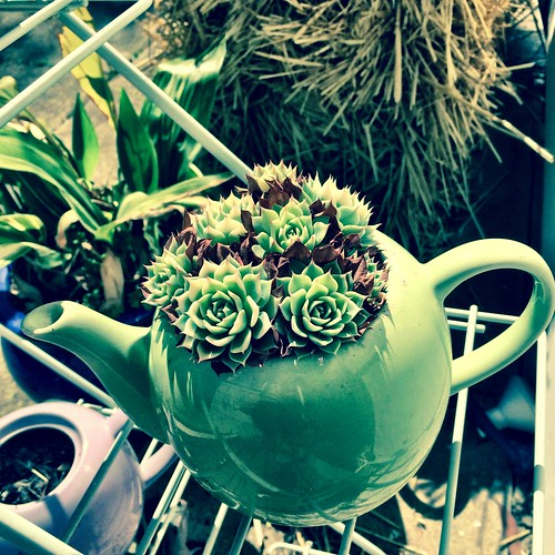 Succulent teapot