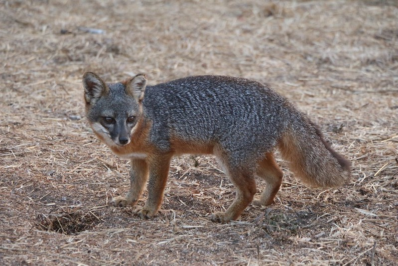 California Channel Island Fox