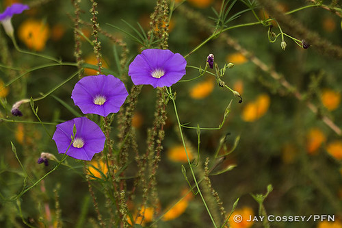 arizona tucson vine vegetation morningglory habitat wildflower catalinasp photographerjaycossey landscapespictorials