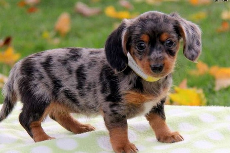 Dachshund Chihuahua Mix Puppies For Sale Httptco7ufdz Flickr
