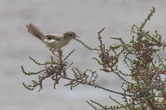 Tiny bird in Ras al Khor (graceful warbler/prina)